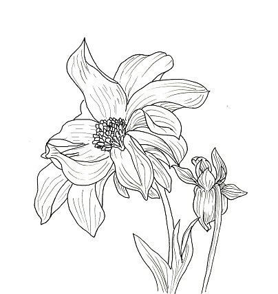 Line Ink Drawing Of Dahlia Flower Premium Clipart
