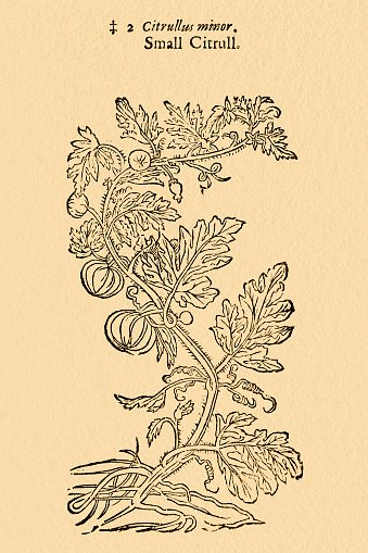 Colocynth bitter cucumber, illustration by Gerard 1633