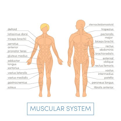 Human Muscular System Premium Clipart Clipartlogo
