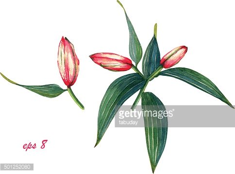 Watercolor pink lily buds.