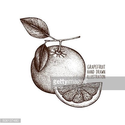 Vector illustration of highly detailed grapefruit
