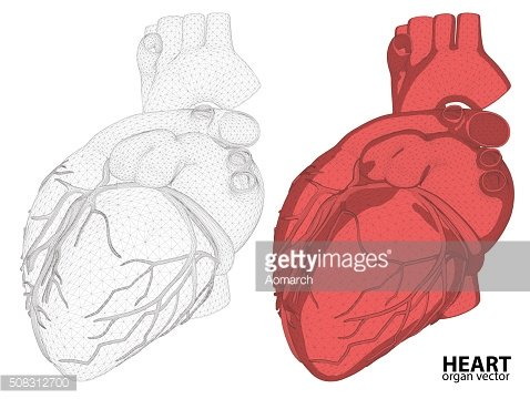 3d Heart wireframe mesh digestive system