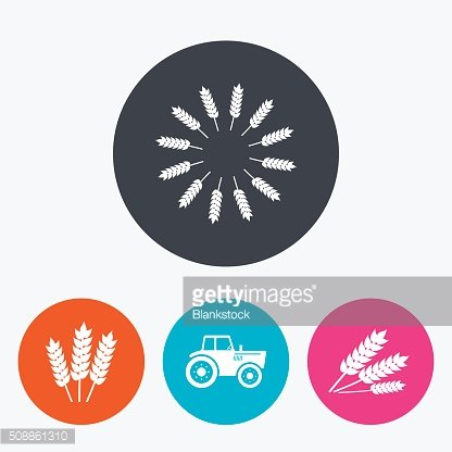 Agricultural icons. Wheat corn or Gluten free.