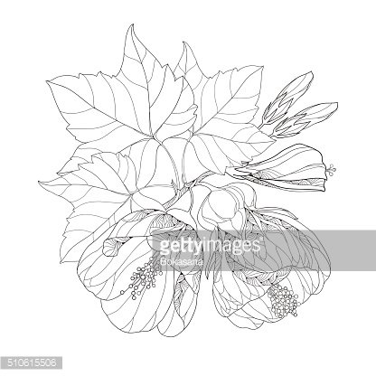 Stem with Abutilon flower and bud isolated on white background.