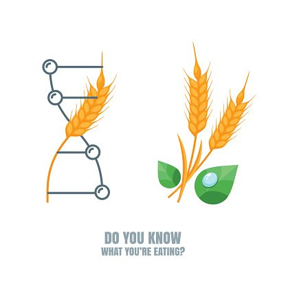 Vector Illustration of Organic Wheat and Genetically