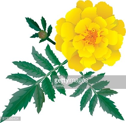 Realistic illustration of yellow marigold flower isolated on white background