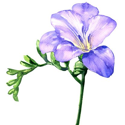 Delicate lilac freesia flower blossom isolated on white watercolor delicate lilac freesia flower blossom isolated on white watercolor illustration mightylinksfo