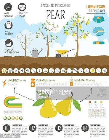Gardening work, farming infographic. Pear. Graphic template