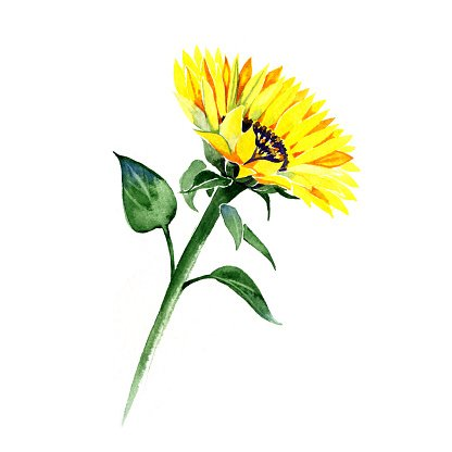 Sunflower Summer Watercolor Painting On White Background