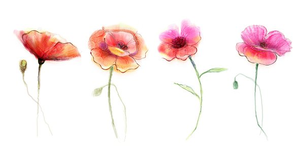 Watercolor painting poppy flower. Isolated flowers on white background