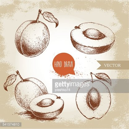 Hand drawn ripe apricots set isolated on vintage background