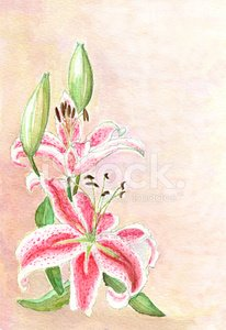 Japanese Lily (water color painting)