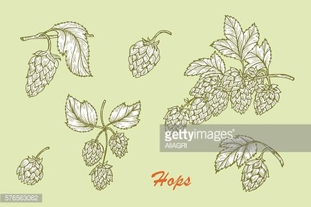 Hand drawn Hops. Common hop (Humulus lupulus) branch, leaves, cones