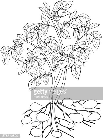 coloring with potato plant