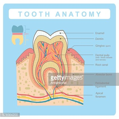 Human Tooth Anatomy Infographic Premium Clipart Clipartlogo