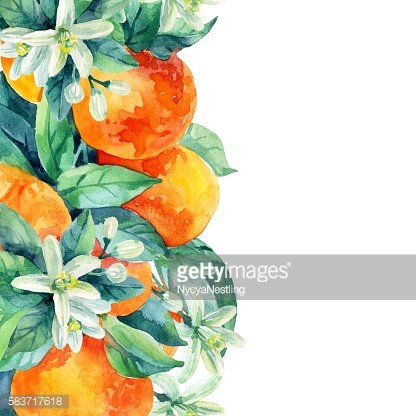 Watercolor mandarine orange fruit branch with leaves on white background