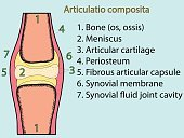 Complex joint vector. Anatomical atlas