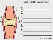 Complex joint vector. Education anatomical atlas