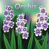 Blooming flower. Military orchid plant purple blossom. Orchis militaris. Vector