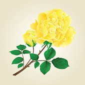 Yellow rose and rosebud  vintage vector