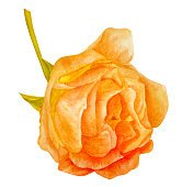 Watercolor blooming rose, vintage style, golden toned, on white