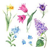 Anemone, Narcissus, Lilac flowers, Tulip, Forget-Me-Not Flower. Spring floral set