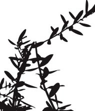 Branches & Leaves - Olive tree