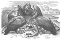 African Vultures Eating Dead Animal  19th Century Engraving
