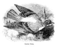 carrier pigeon engraving