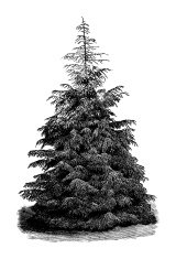 Vintage Clip Art and Illustrations | Pine Tree