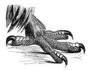 19th century engraving of a golden eagle claw