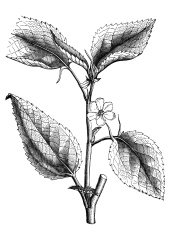 19th century engraving of a jew's mallow plant