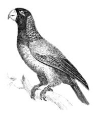 19th century engraving of a parrot