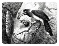 Engraving of toucan mother rearing up young animal