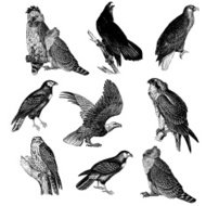 Collection of Raptor Bird Illustrations - Eagle, Falcon, Osprey,