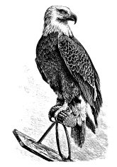 Majestic Eagle - Victorian Engraving