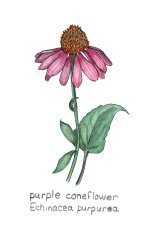 purple coneflower, Echinacea purpurea, colored pencil drawing