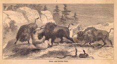 Old, Black and White Illustration of Bison Fighting Grizzly Bear