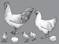Rooster and Chicken, Chicks, Egg - Poultry