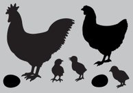 Rooster and Chicken, Chicks, Egg - Farm Animals