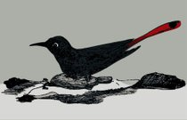 black bird with a red tail