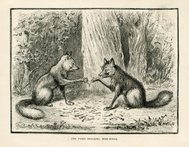 Two foxes breaking a wishbone (Victorian engraving)
