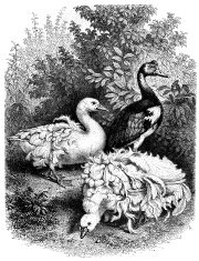Antique illustration of geese outdoor in park