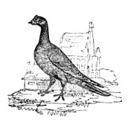 19th century engraving of a carrier pigeon