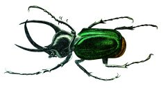 19th century engraving of a colourful atlas beetle
