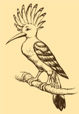 Vector drawing of a series 'Birds'. Hoopoe