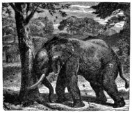 Victorian engraving of an elephant knocking fruit from a tree