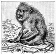 Antique illustration of mandrill (Mandrillus sphinx)