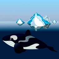 killer whale in Antarctica