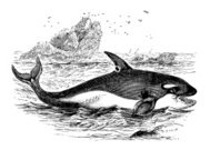 Antique illustration of killer whale (Orcinus orca)